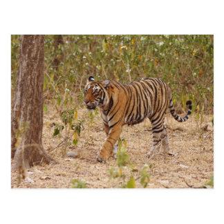 Königlicher bengalischer Tiger, der den Busch Postkarte