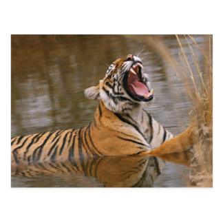 Königlicher bengalischer Tiger, der im Postkarte