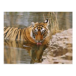 Königlicher bengalischer Tiger, der im Wald trinkt Postkarte