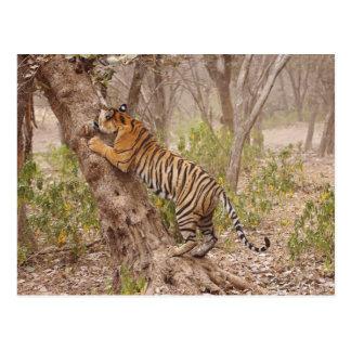 Königlicher bengalischer Tiger, der oben den Baum Postkarte