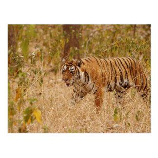 Königlicher bengalischer Tiger, der um den Busch Postkarte