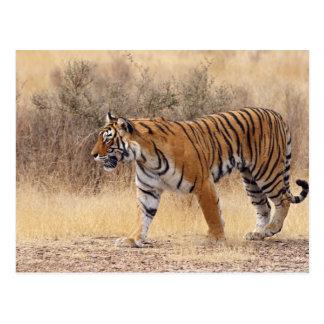 Königlicher bengalischer Tiger, der um trockenes Postkarte
