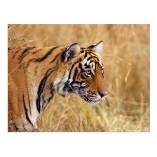 Königlicher bengalischer Tiger, der von den 2 Postkarte
