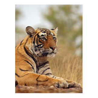Königlicher bengalischer Tiger - ein nahes hohes, Postkarte