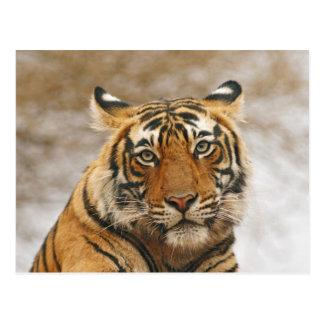 Königlicher bengalischer Tiger - ein Porträt, Postkarte