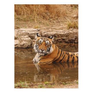 Königlicher bengalischer Tiger im Dschungelteich, Postkarte