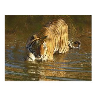 Königlicher bengalischer Tiger im Wasser, Postkarte