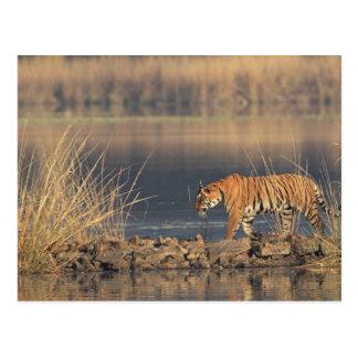 Königlicher bengalischer Tiger in Bewegung, Postkarte