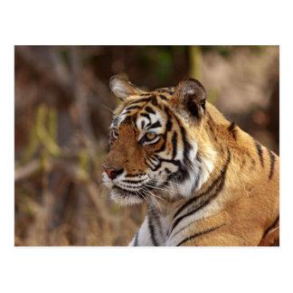 Königlicher bengalischer Tiger, Ranthambhor Postkarte
