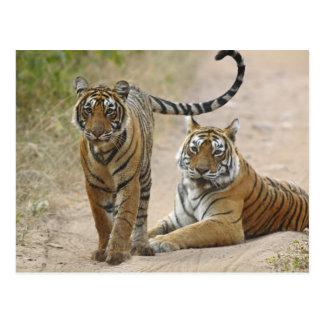 Königlicher bengalischer Tiger und jung, Postkarte