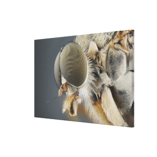 Kopf der Schnepfes-Fliege Leinwanddruck