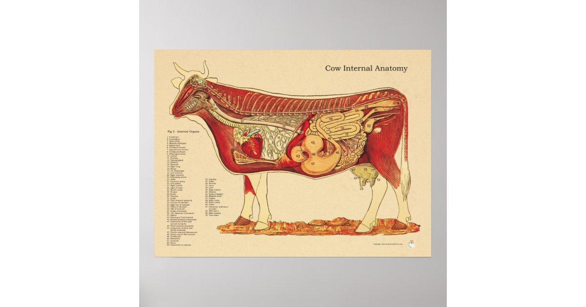 Kuh-Rinderinternes Anatomie-Veterinärdiagramm Poster | Zazzle.ch