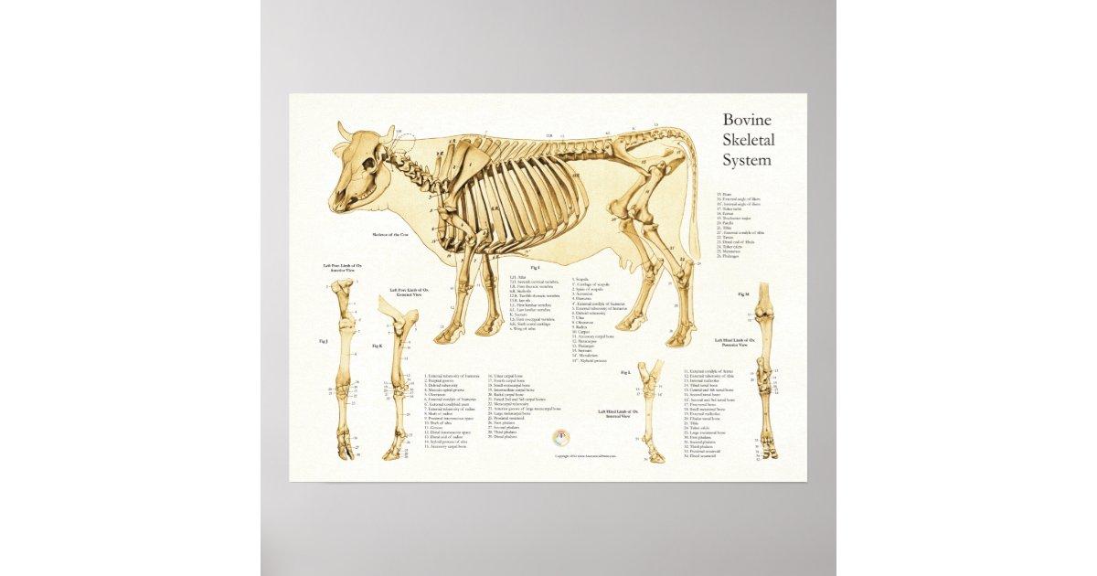 Großartig Kuh Skelett Anatomie Bilder - Menschliche Anatomie Bilder ...
