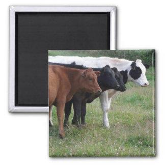 Kühe in Folge Quadratischer Magnet
