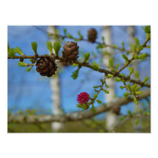 Lärchenblüten Poster