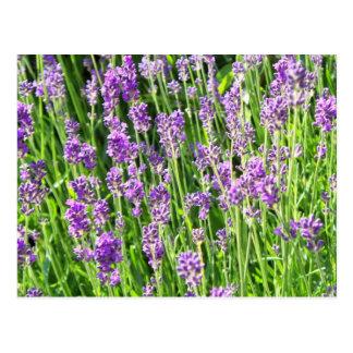Lavendel im Gras Postkarte