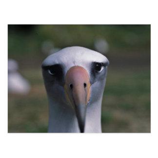 Laysan Albatros Postkarte