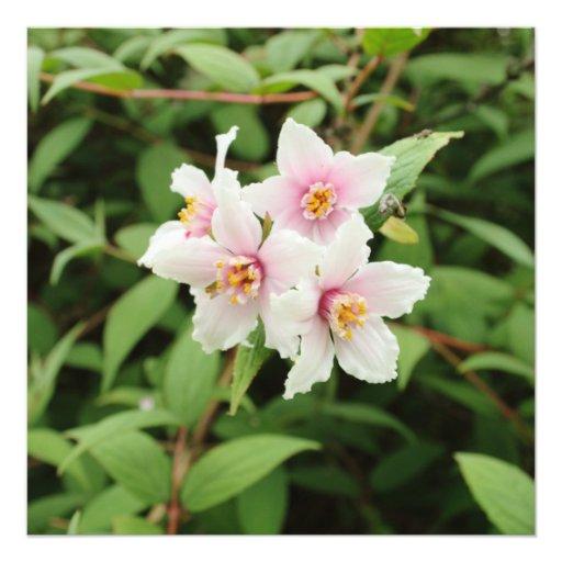 Le Deutzia quatre décolorent des fleurs Impressions Photo