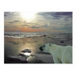 Le soleil de minuit et ours blanc, océan arctique carte postale