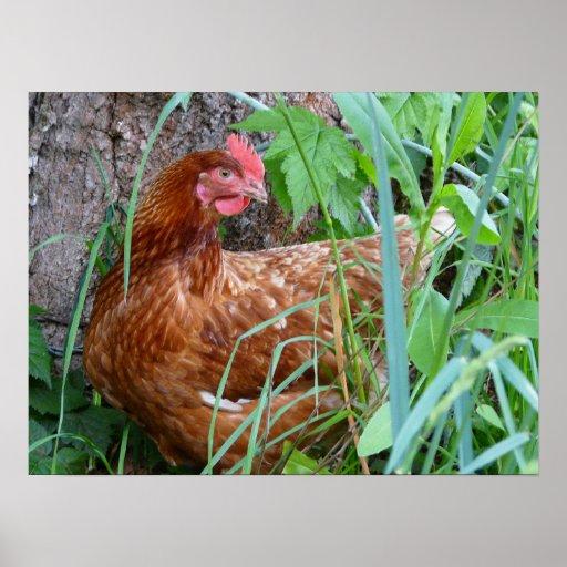 Legehenne-Huhn-Plakat