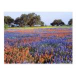 Les Etats-Unis, le Texas, Llano. Bluebonnets et Cartes Postales