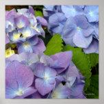 Les hortensias bleus les plus bleus posters