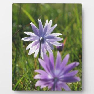Lila Gänseblümchen-Blumen auf grünem Hintergrund Fotoplatte