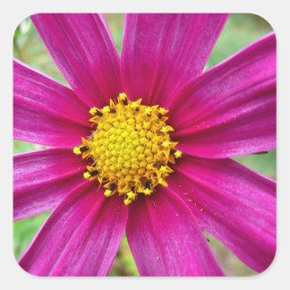 Lila Kosmos-Blumen-schöne Wildblume Quadratischer Aufkleber