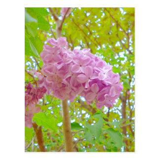Lilac、紫丁香花(むらさきはしどい) Postkarte