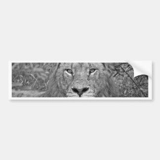Lion de observation, Afrique du Sud Autocollant De Voiture