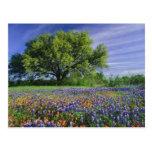Live Oak et pinceau du Texas, et le Texas Carte Postale