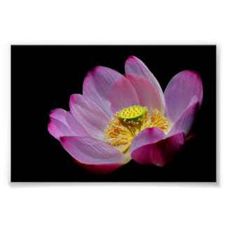 Lotus-fleur Poster
