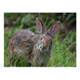 Louisiana-Kaninchen Postkarte