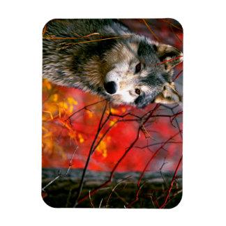 Loup gris dans le beau feuillage rouge et jaune magnet souple