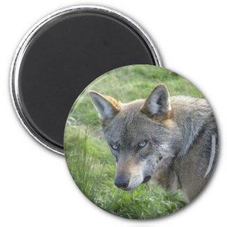 Loup gris européen magnet rond 8 cm