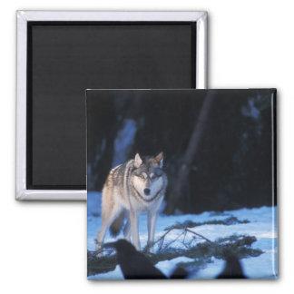 loup gris, lupus de Canis, dans les collines des 3 Magnet Carré