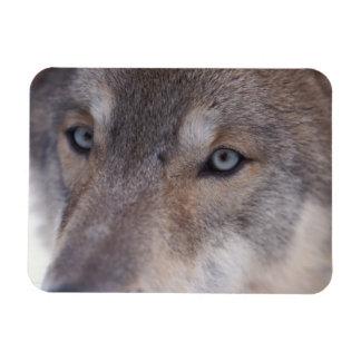 loup gris, lupus de Canis, dans les collines du Magnet