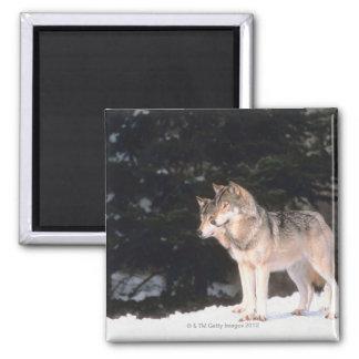 Loups gris magnet carré