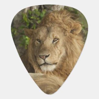 Löwe, Panthera Löwe, Mannesstillstehen Plektrum