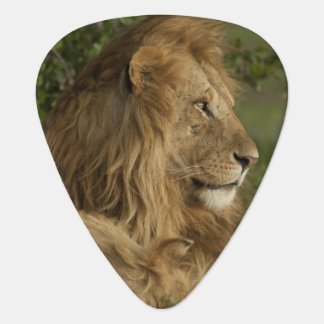Löwe, Panthera Löwe, unteres Mara, Masai Mara GR, Plektron