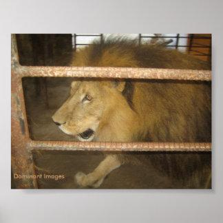 Löwe wild im Natur-Haustier-Plakat Poster