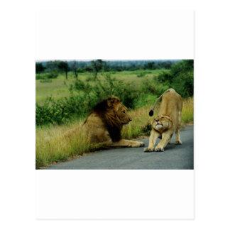 Löwin-Ausdehnung Postkarte