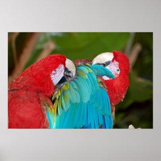 Macawpapageien-Paarplakat Poster