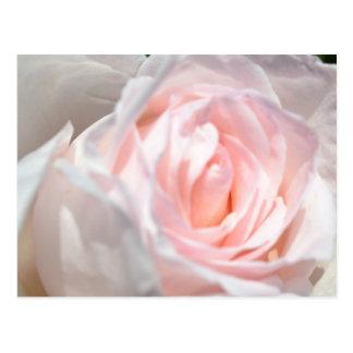 Macro de rose de rose carte postale