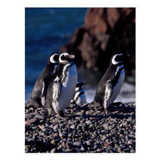 Magellanic Pinguin Postkarte