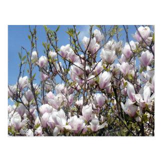 Magnolie blüht im Frühjahr Postkarte