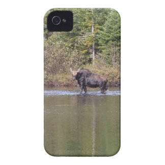Maine-Kuh-Elche iPhone 4 Hüllen