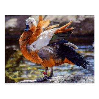 Mandarinen-Enten-Postkarte Postkarte