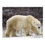 Maritimus d'Ursus d'ours blanc) en Churchill Carte Postale
