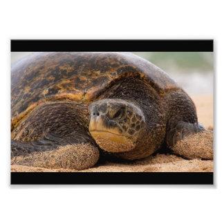 Meeresschildkröte, die auf dem Strand in Hawaii Fotodruck